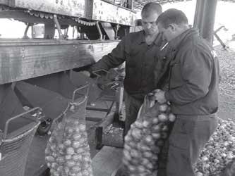 сортировка и затаривание лука