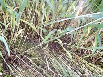 пшеница после обработки
