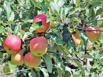 урожай яблок совхоза Архипо-Осиповский