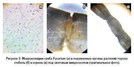 Рис.3 Макроконидии гриба Fusarium