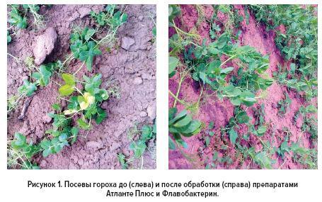 Рис.1 Посевы гороха до и после обработки препаратами Атланте Плюс и Флавобактерин