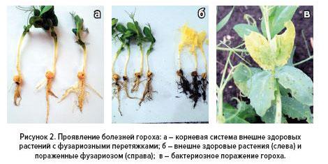 Рис.2 Проявление болезней гороха