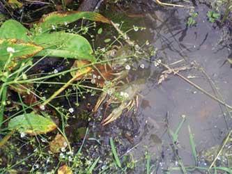 Выращивание речных раков