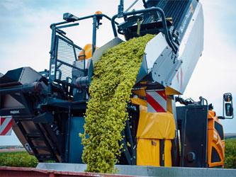 уборка урожая винограда