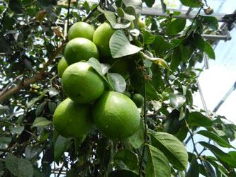 выращивание лимонов