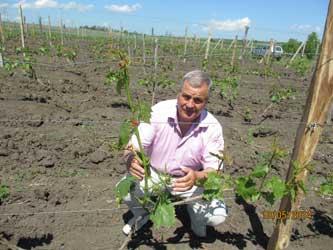 Виноградарство на Кубани