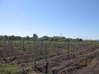 молодые виноградники
