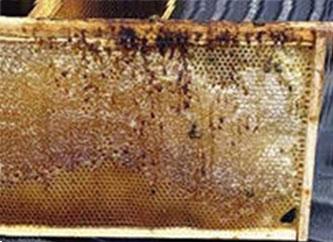 нозематоз пчел, диагностика заболевания
