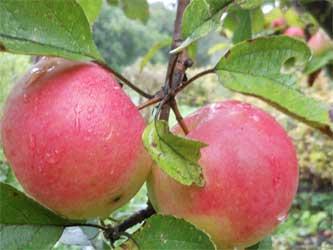 фрукты из яблоневого сада