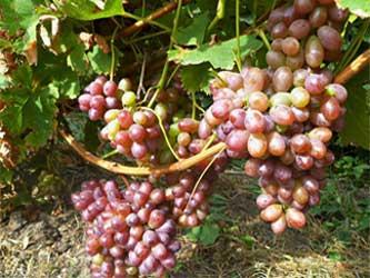 производство винограда
