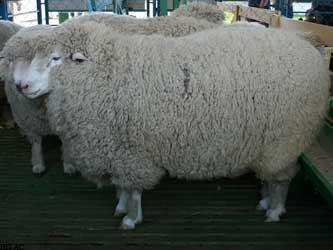 овцеводство в Ставропольском крае