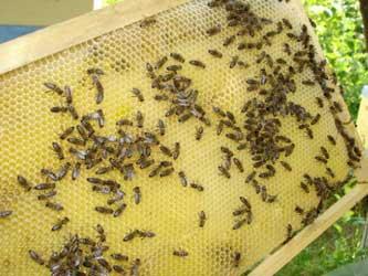 здоровье популяции пчел