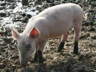 страхование животноводства