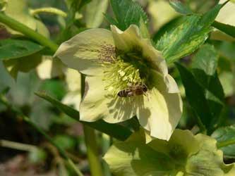 сокращается численность медоносных пчел