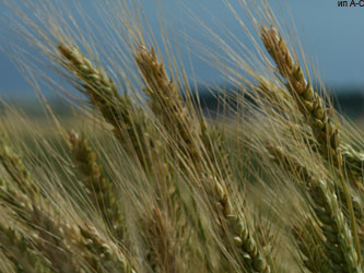 урожай пшеницы 2012