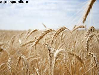 новый сорт пшеницы