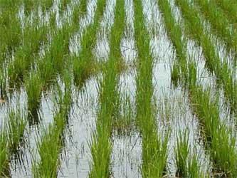 посевы риса