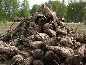 Переработка сахарной свеклы в Краснодарском крае