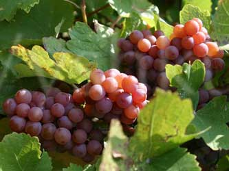 развитие виноградарства