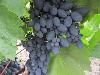 развитие виноградарства в Ставропольском крае