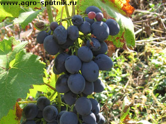 виноград болезни и вредители