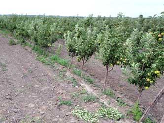 Развитие садоводства на Кубани