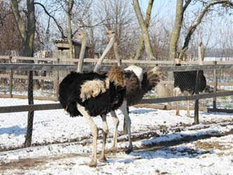 страусы на Кубани