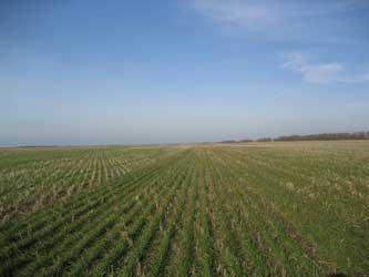 Посевы зерновых культур в полях Ростовской области