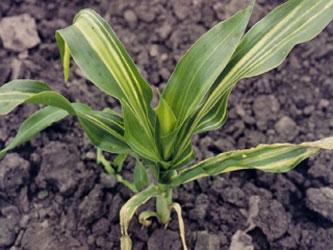 вилт кукурузы