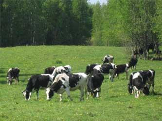 молочно мясное животноводство