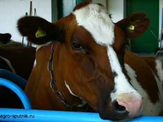 молочная отрасль Чеченской республики