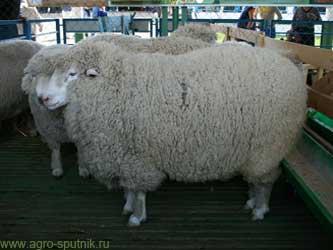 овцеводство Ставропольского края